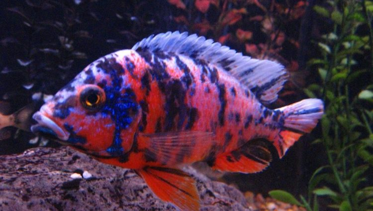 Elements Needed To Set Up An African Cichlids Tank